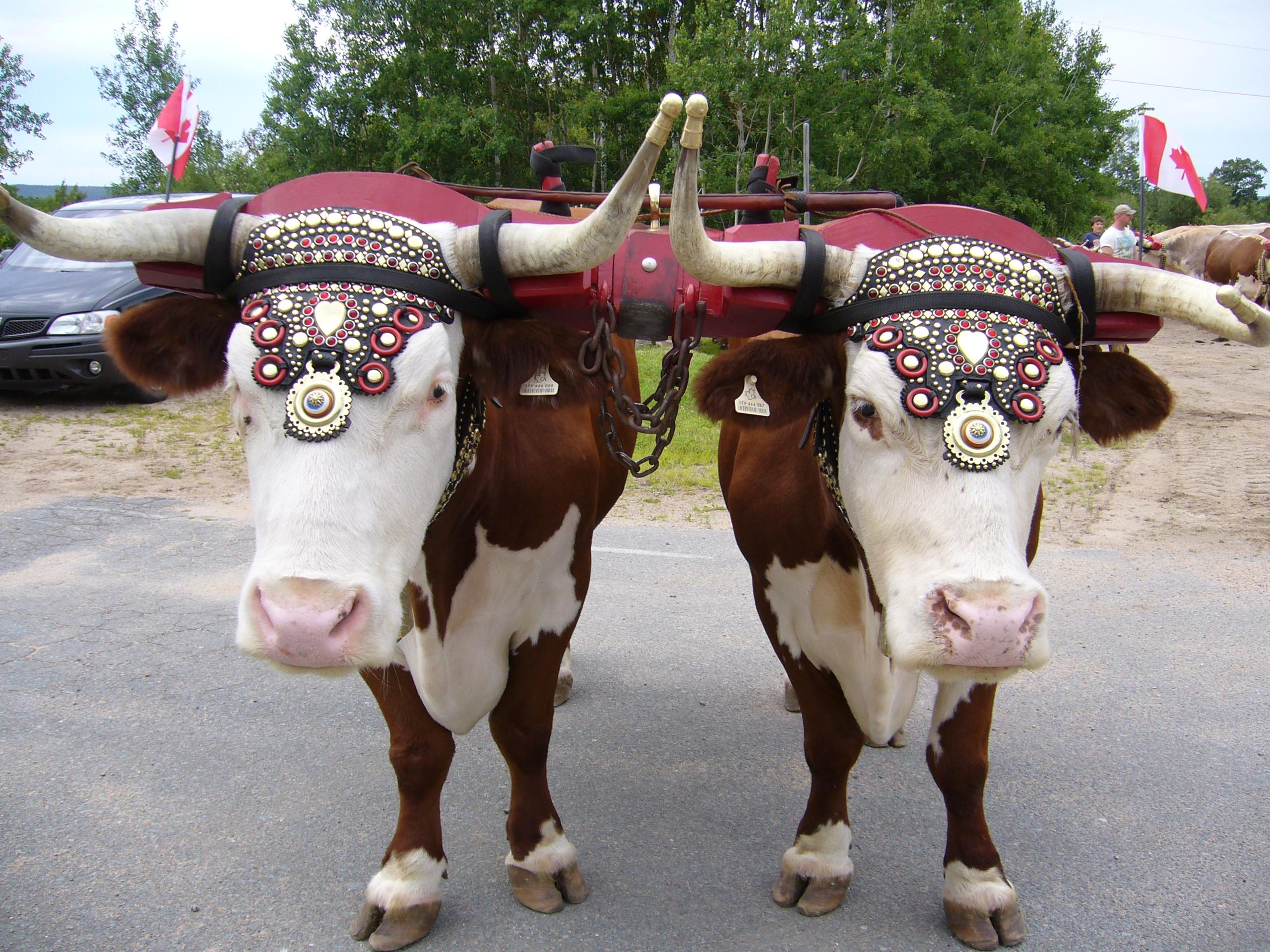 Oxen yoked together