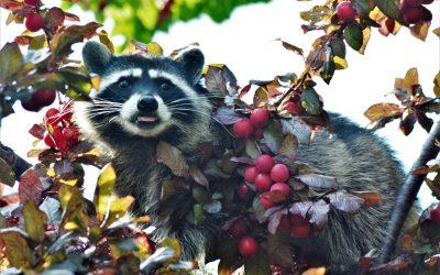 Are you a panda or a trash panda?
